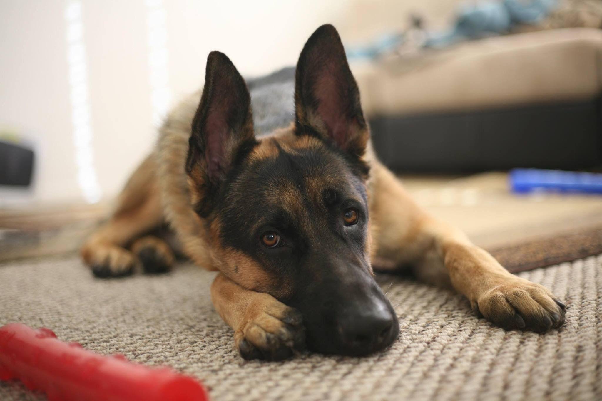 Pin By The German Shepherd On Doggies