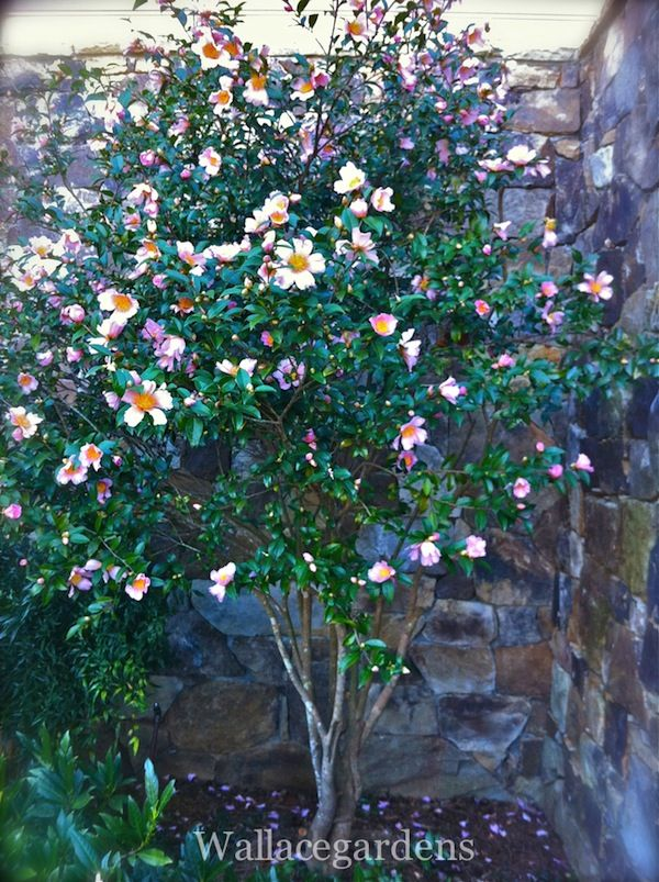 Camellia Sasanqua Spring Bloom Tree Form Fragrant Flowers Fragrant Flowers Camellia Tree Spring Blooms