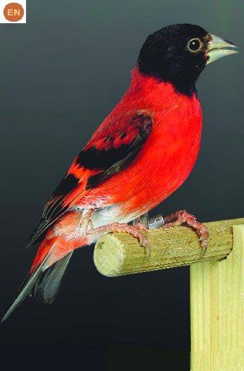 https://www.facebook.com/WonderBirds-171150349611448/ Sẻ thông Siskin đỏ; Họ Sẻ thông-Fringillidae; Colombia và Venezuela    Red siskin (Spinus cucullata); IUCN Red List of Threatened Species 3.1 : Endangered (EN)(Loài nguy cấp)