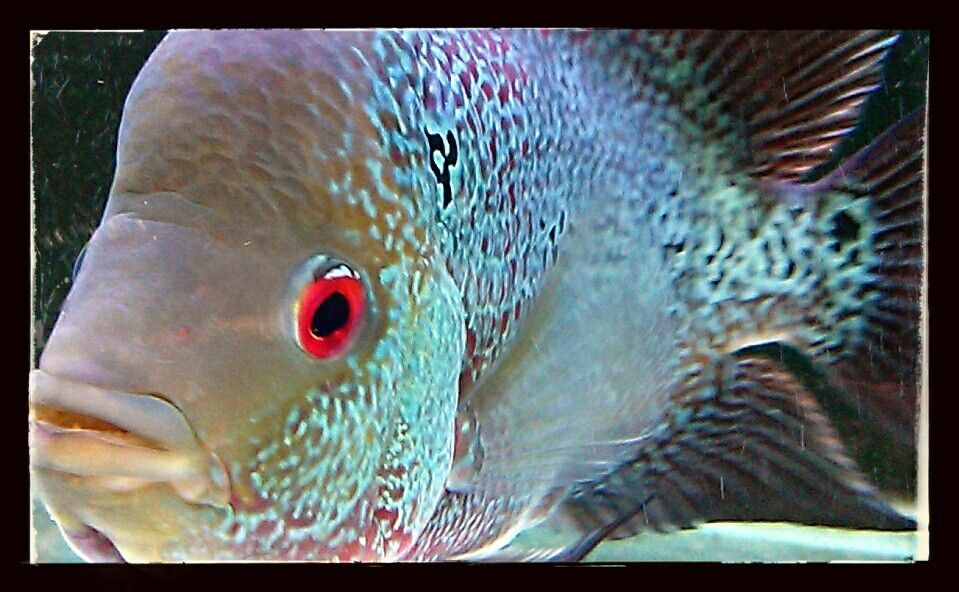 Cherry King Pearl Flowerhorn Water animals, Fish pet