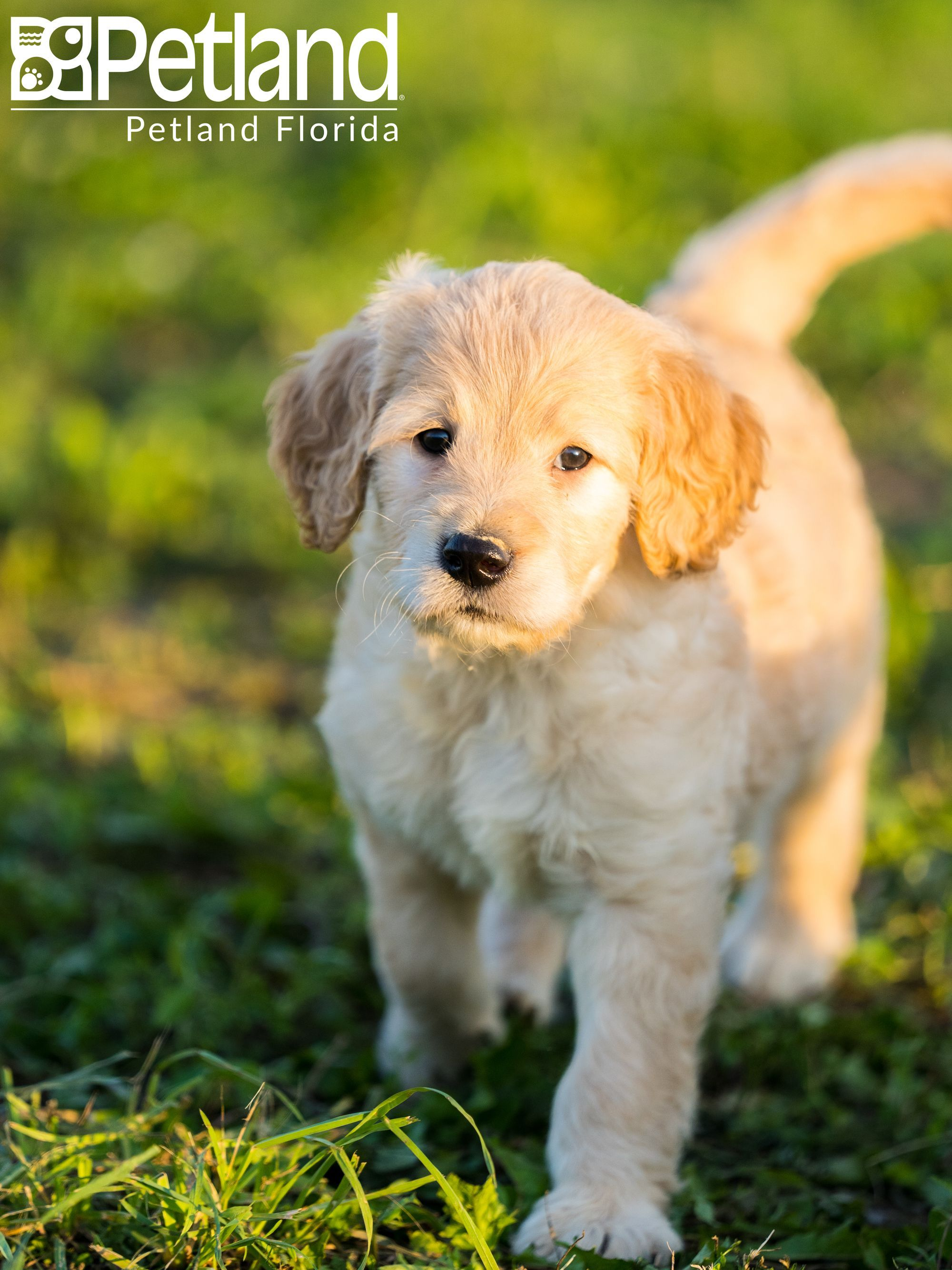 I M A Su Paw Star Petlandbreeders Breeders Puppy Doglover Adorable Dog Cute Pet Dogoftheday Photooftheday Puppylove Puppies Dog Lovers Pets