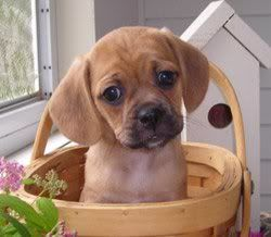 Puggle Small Tough House Dog That Is Smart Not Yippy Mellow