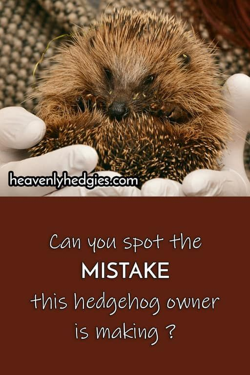 hedgehog owner is making a mistake that prolongs the hedgehog bonding progress Can you spot it     heavenlyhedgiesThis hedgehog owner is making a mistake that prolongs th...