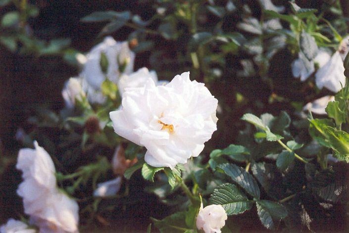 Plant Catalog Gertens Fragrant Plant Rose Shrub Roses