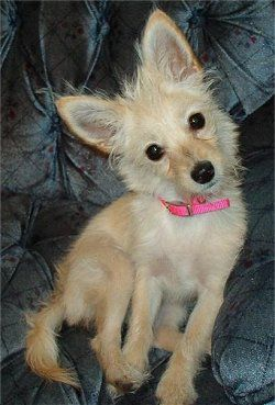 Chi Poos Wapoo Poodle Chihuahua Mixes Bubba You May Thing