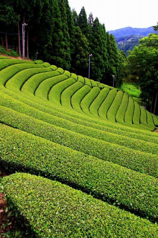 Green Tea Plantation in Wazuka, Kyoto, Japan Japan 日本