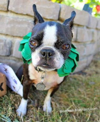 Is this a Boston terrier toy or a costume? You decide.