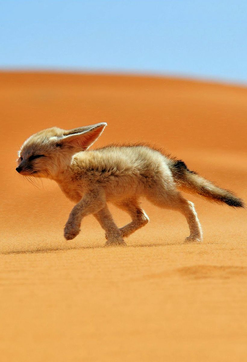Fennec Fox Photo  Morocco Picture  National Geographic Photo of the Day is part of Baby animals - See a photo of a fennec fox in Morocco, from National Geographic