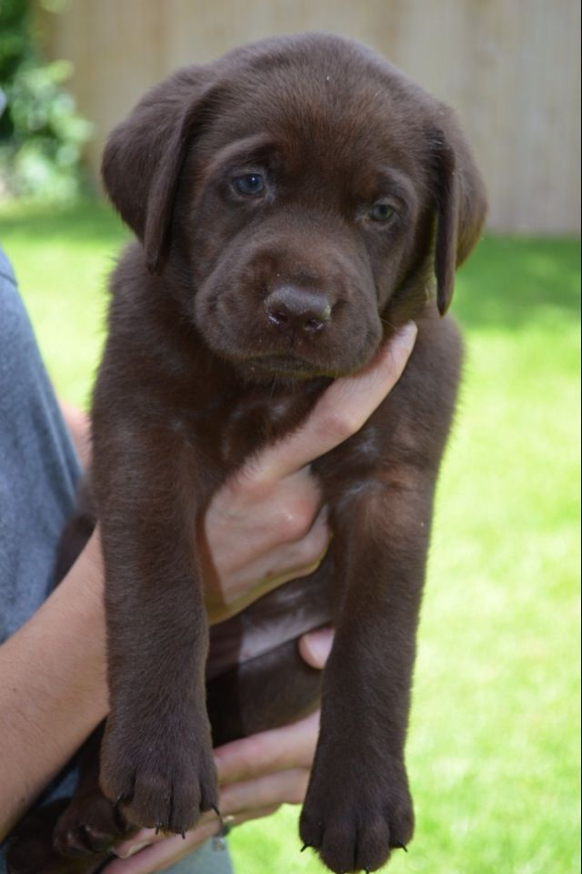 Chocolate Lab Puppy Lab Puppies Chocolate Lab Puppies Cute Animals