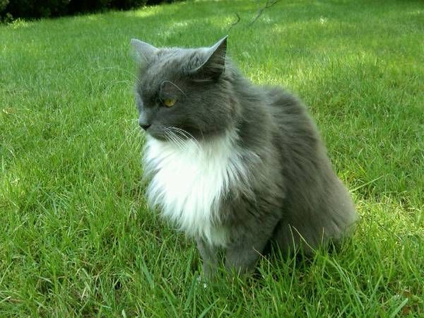 Windsor Locks Lost Gray Tuxedo Cat Has Long Gray Hair With White Paws And White Chest Underside Yellow Eyes About 8l Long Haired Cats Tuxedo Cat Grey Tuxedo