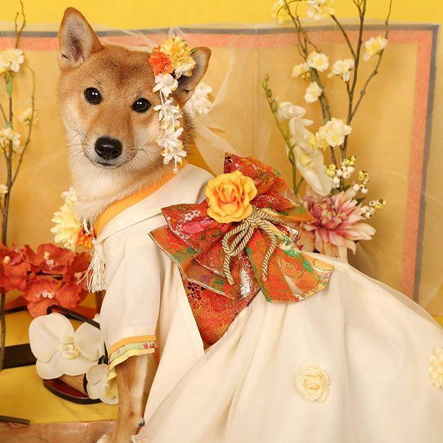 こんにちワン(^^)1歳の誕生日の記念に撮影してもらったワン(^^) #instagood#love#followme #followmeplease#shibainu#dogstagram#犬#豆柴#柴犬 #shiba#写真部 #nofilter  #dogs#dog#dogsofinstagram#散歩 #犬バカ部 #一眼レフ #shibagram#柴#写真 #カメラ女子 #東京カメラ部 #カメラ好きな人と繋がりたい #写真撮ってる人と繋がりたい #写真好きな人と繋がりたい #写真 #ファインダー越しの私の世界 #着物 #ドレス