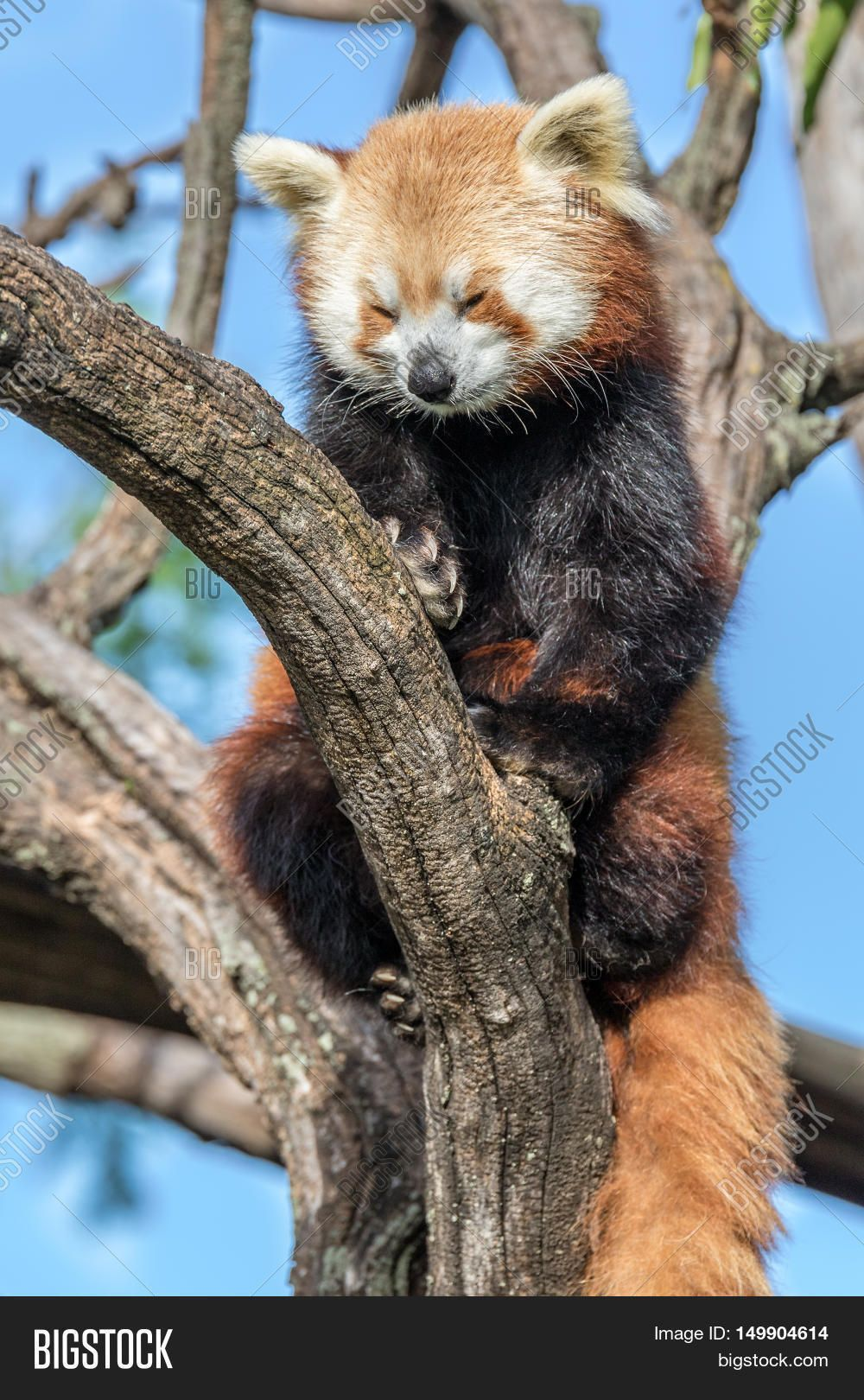 A red panda relaxing in a tree on a nice sunny day.