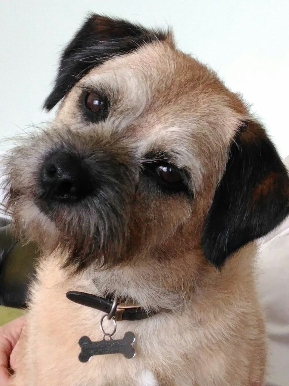 I Wish I Understood Human Border Terrier Puppy Dog Breed Info