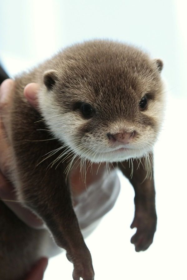 Hold baby sea otter