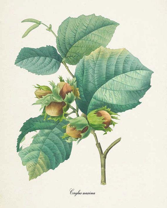 Hazelnut botanical print hazelnut art print by visualnature fruit printbotanical printskitchen artbotanical illustrationfree