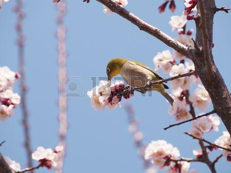 Japanese apricot and Japanese White-eye | 梅の花の蜜を吸うメジロ