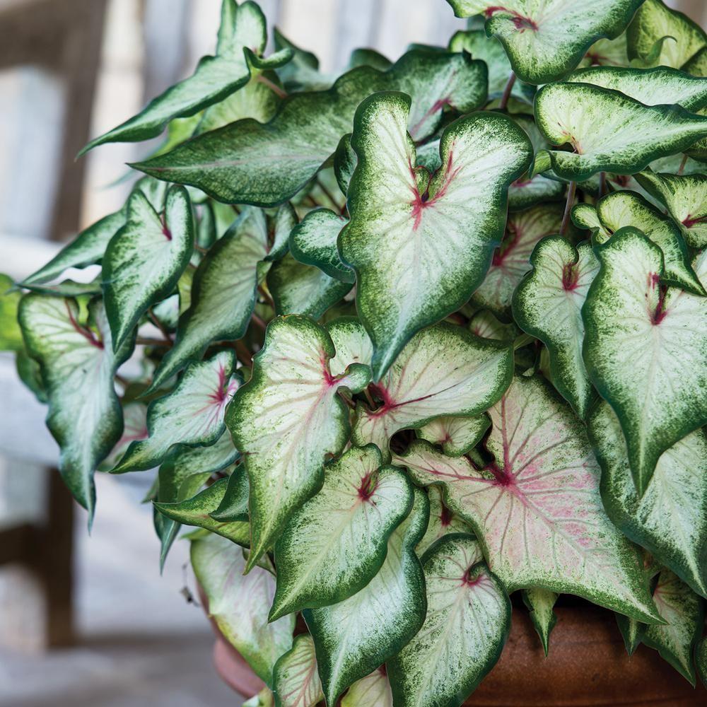 Van Zyverden Caladiums Strap Leaf White Wonder Bulbs (6