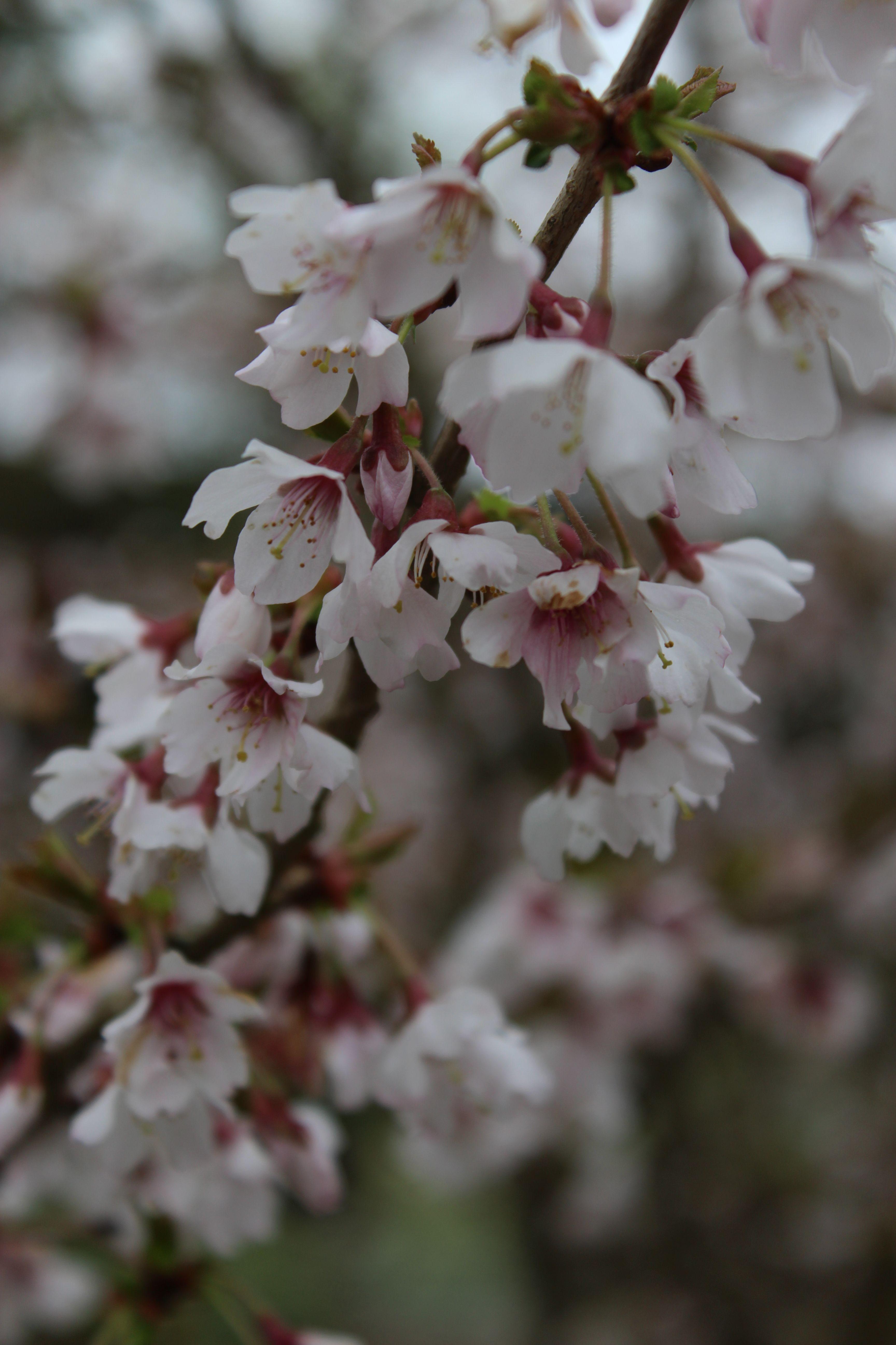 Wordless Wednesday Prunus Kojo No Mai Ornamental Trees Japanese Garden Flower Garden