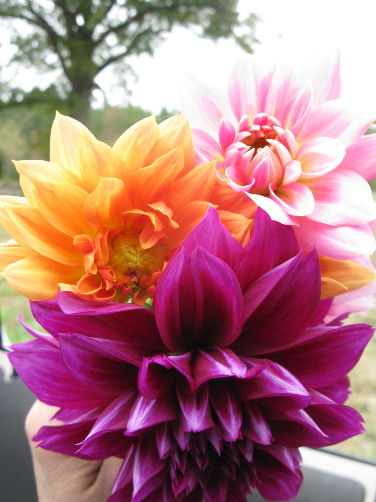Dahlias Little Gems Are Dwarf And Bloom All Summer If Dead Headed