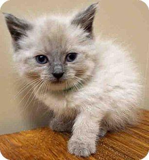 Oswego Il Ragdoll Meet Sage A Kitten For Adoption Http Www Adoptapet Com Pet 11343262 Oswego Illinois Kitten Kitten Adoption American Animals Pets