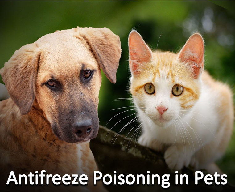 Antifreeze Poisoning in Pets Pets, Animals, Dog mom