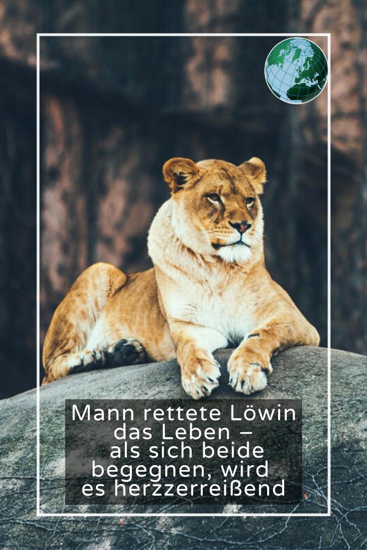 Mann rettete Löwin das Leben - als sich beide begegnen