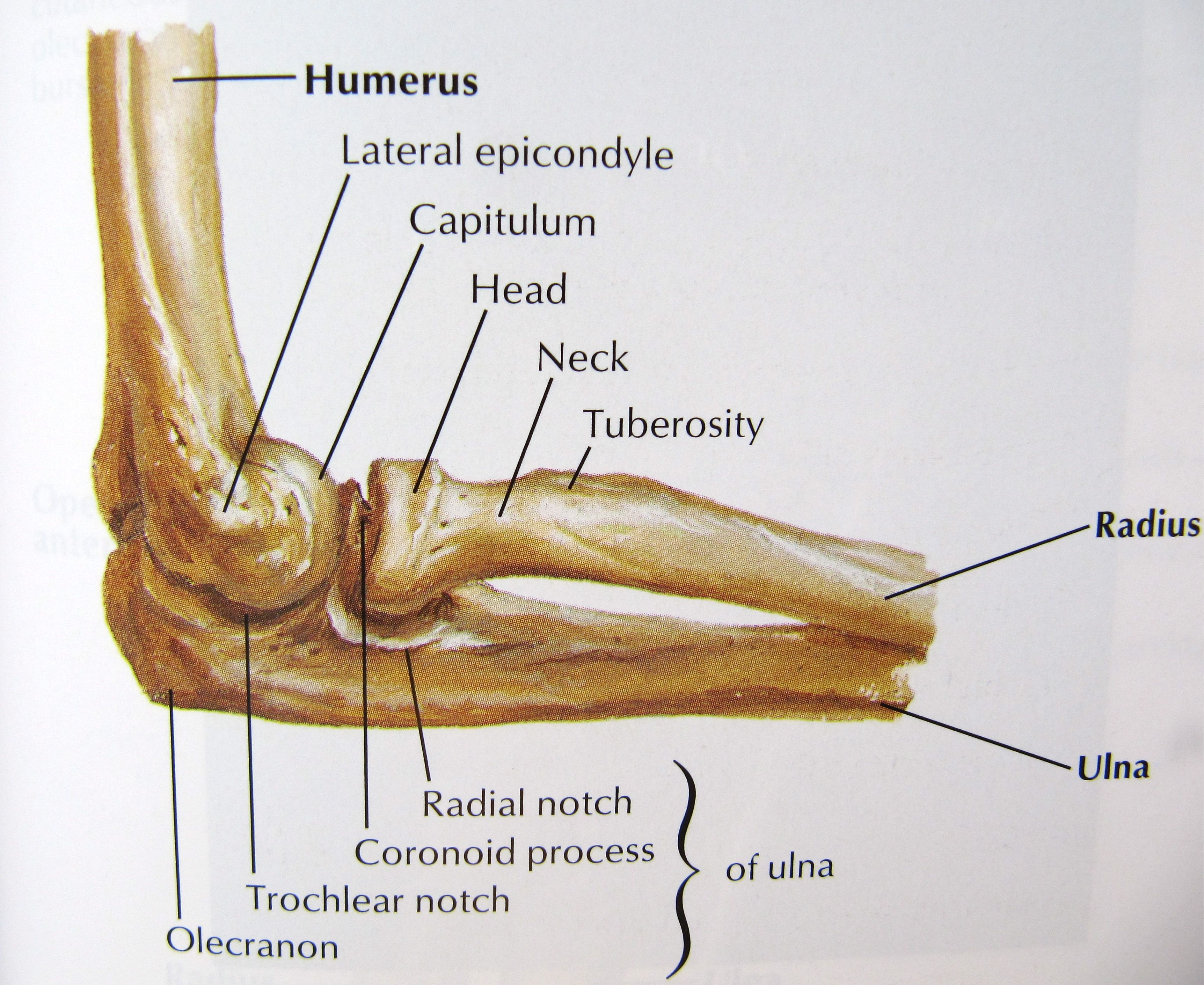 medium resolution of elbow anatomy bones human anatomy diagram