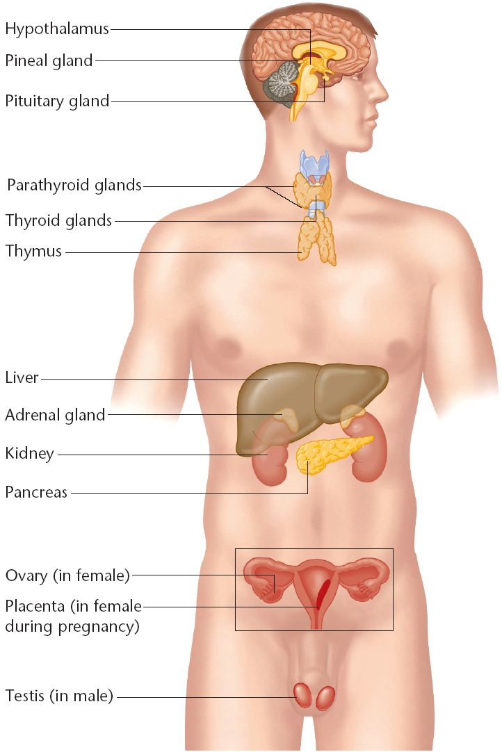 Endocrine Organs Diagram Unlabeled Auto Electrical Wiring Diagram
