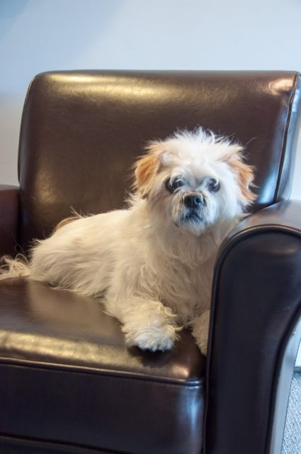 Adopt Shaggy On Petfinder Small Dog Rescue Cute Animals Lhasa Apso