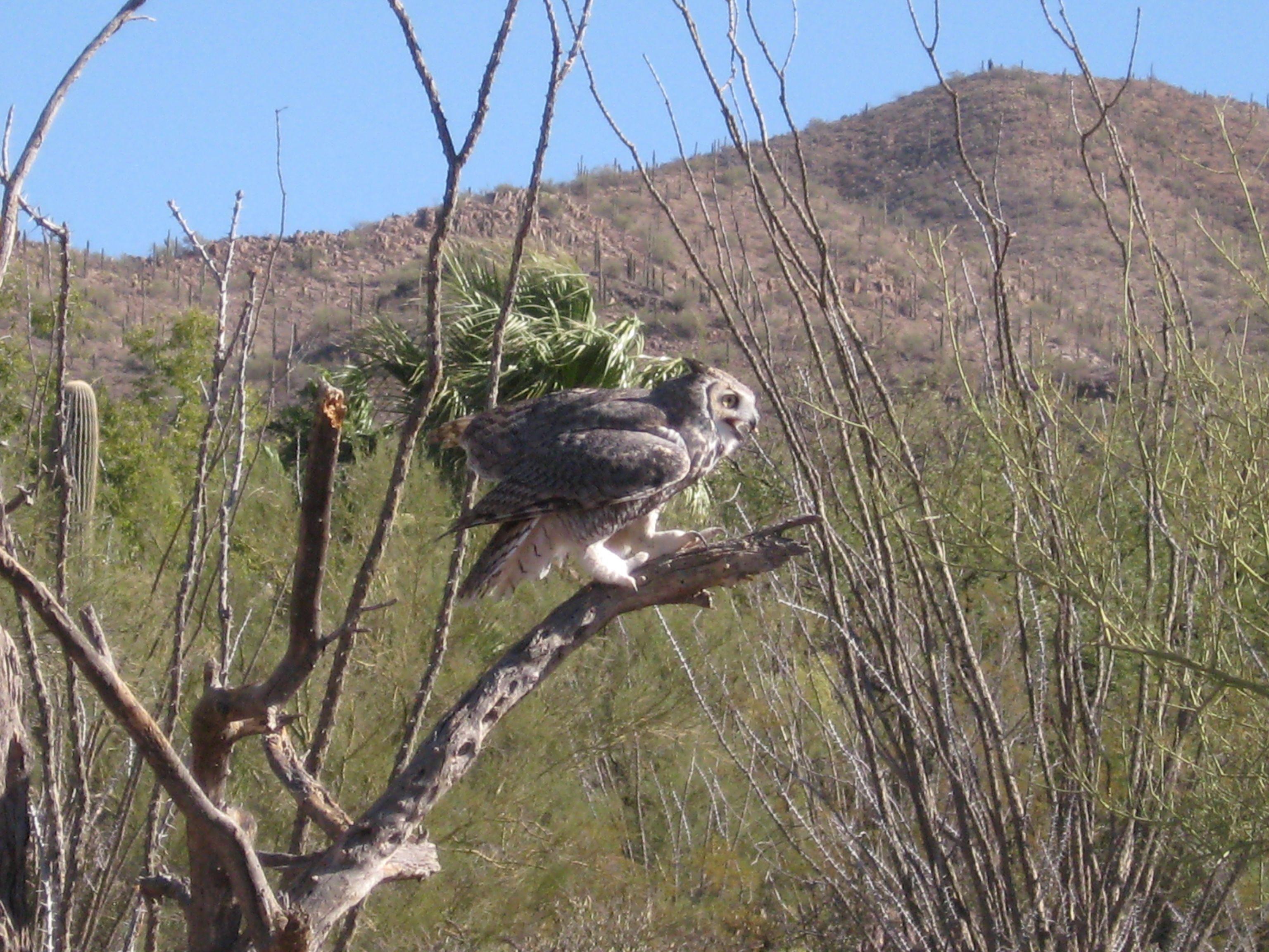 Horned Owl at Arizona Sonora Desert Museum. Sandra Farris Photograph.