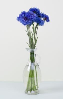 Cornflower or Bachelor's Button (Centaurea cyanus)