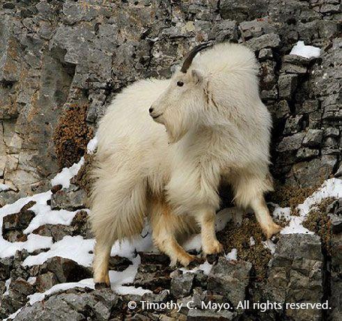 SR-Mountain-Goat-copyrightTim-Mayo