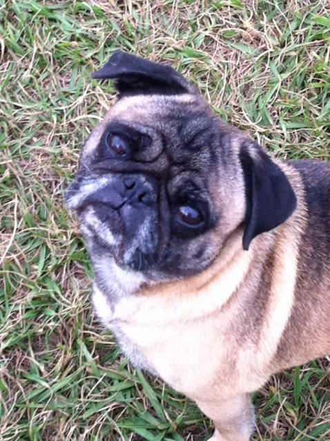 Lost Dog - Pug - Port Saint Lucie, FL, United States | Lost Dogs