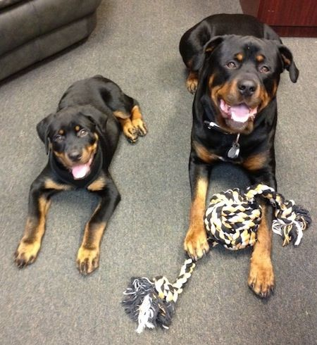 A Black With Tan Rottweiler Is Laying On A Carpet With A Rope Toy
