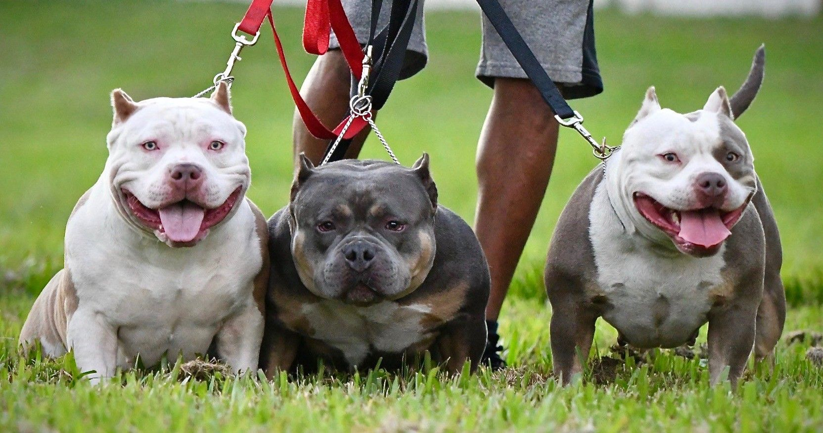 Amazing American Bully Puppies For Sale Pocket Bully American Bully