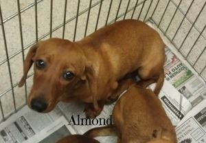 Almond Is An Adoptable Dachshund Dog In West Plains Mo
