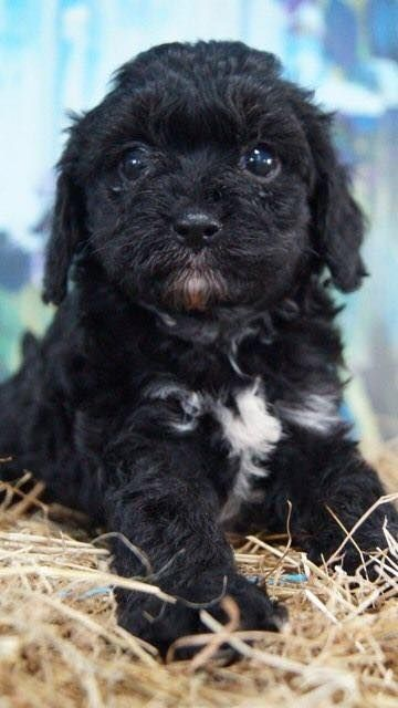 Abby At 6 Weeks Abbycavoodle Cavoodle Cavoodlepuppy