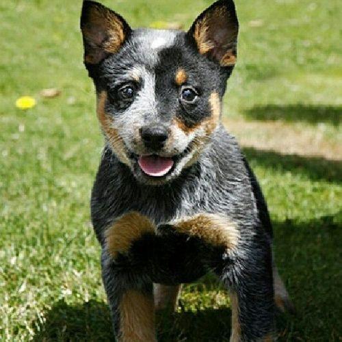 Pin On Heeler Puppies