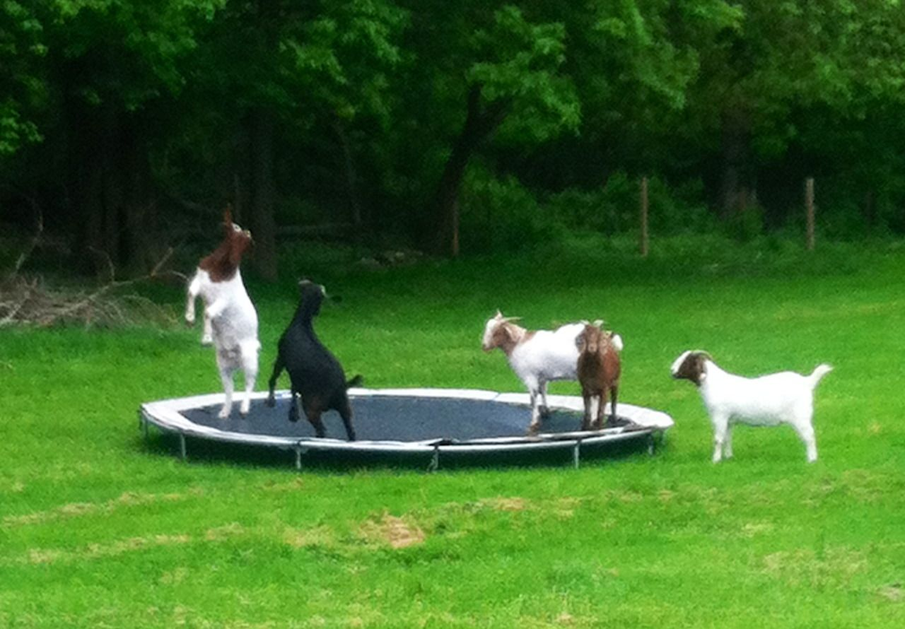 Today I came across goats playing on a trampoline...