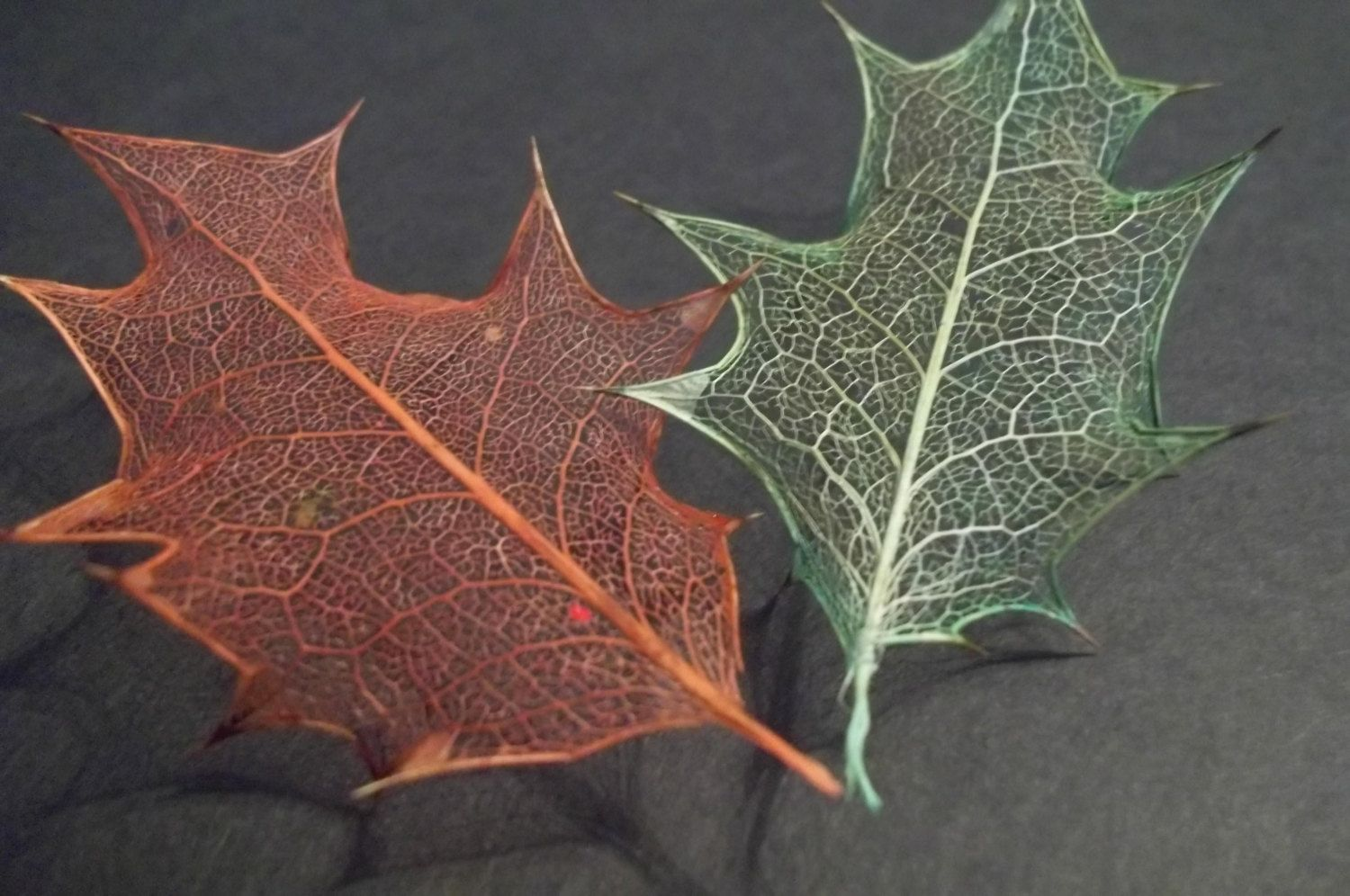 Six Holly Leaf Skeletons Dyed All Yellow Or Three Red
