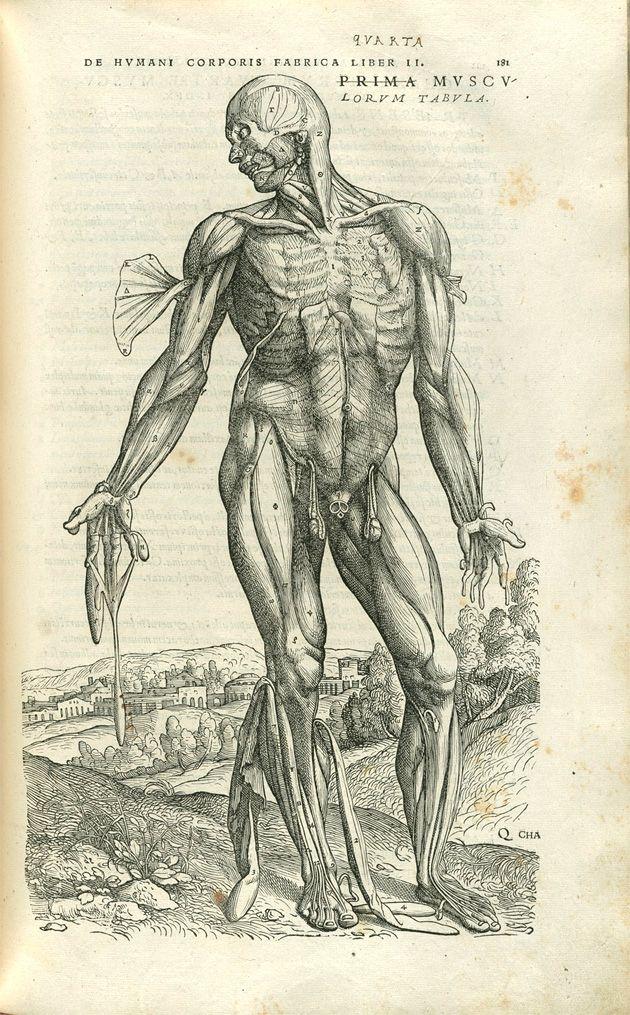 Vesalius 16th Century Anatomy Pinterest Andreas Vesalius
