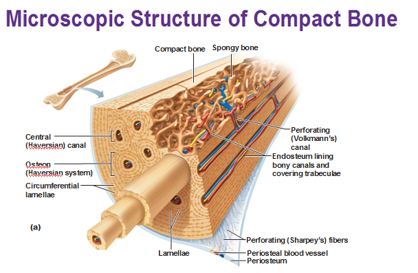 microscopic structure of compact bone | Medical Charts | Pinterest ...