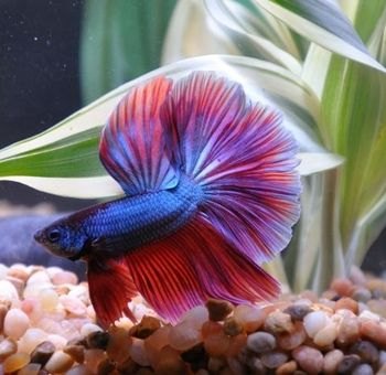 treating constipation in bettas very cool things betta betta