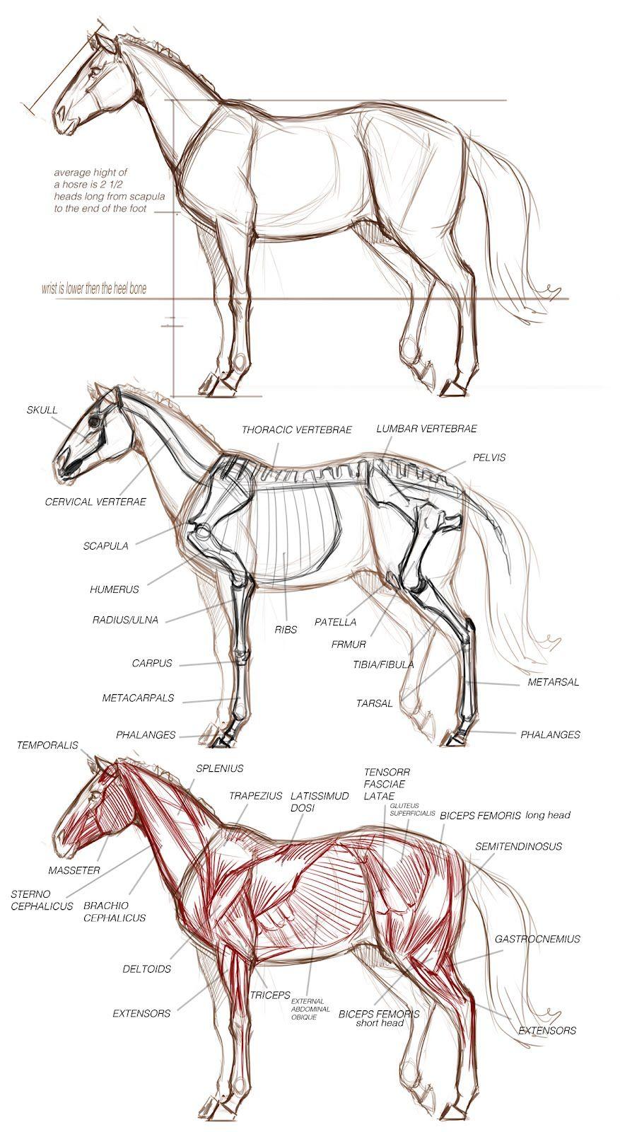 Animal Art and Demos: DEMOS   Guía de Dibujo   Pinterest   Anatomía ...