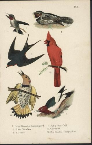 Ruby Throated Hummingbird Flicker Cardinal 1903 Antique Color Litho Bird Print | $27.96
