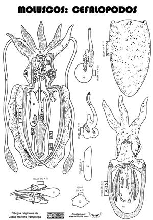 Cefalopodos-sepia | 1 ESO | Pinterest | Anatomía