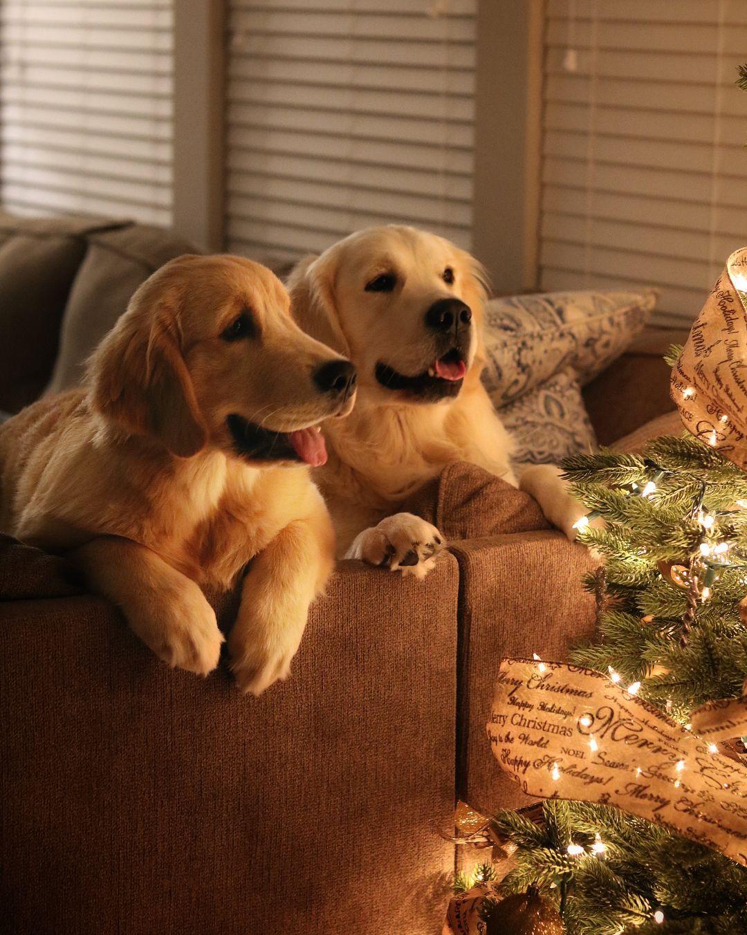 Pin by marcela jordàn on perros golden labrador pinterest