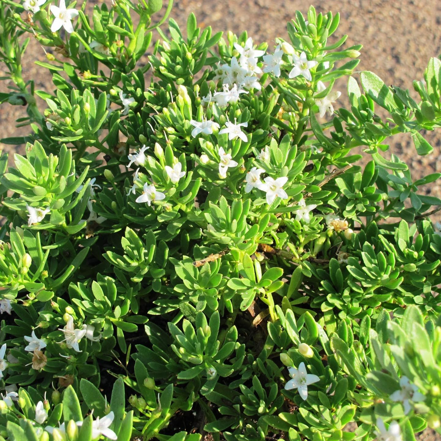 Picture of Live Creeping Myoporum aka Myoporum p. 'Putah Creek' Plant Fit 5 Gallon Pot