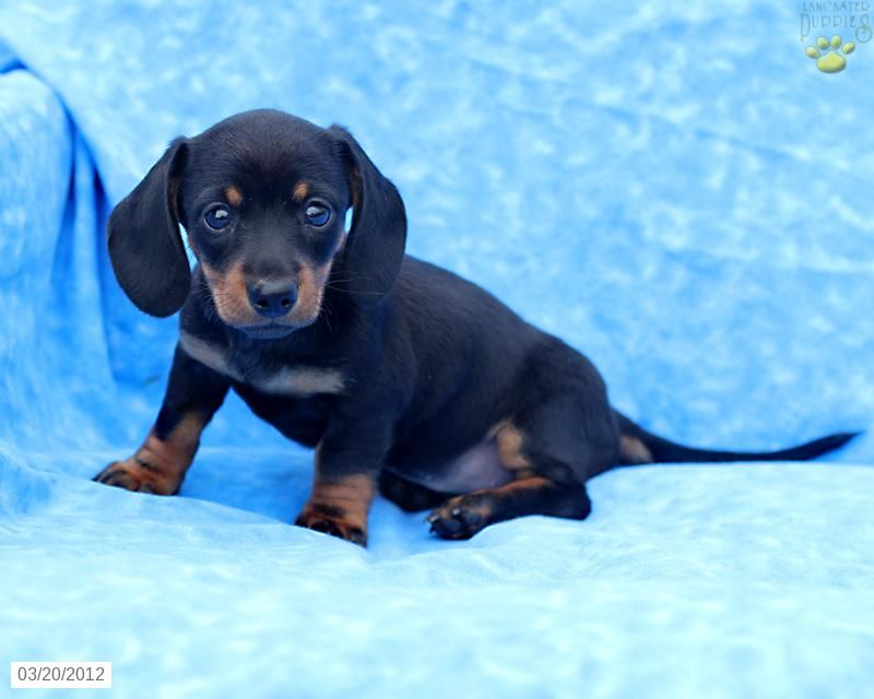 Dachshund Puppy For Sale Dachshund Puppies For Sale Puppies For