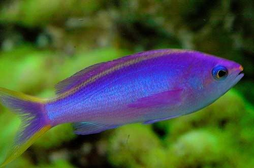 Purple queen anthias what a good looking fish 102114 for Good pet fish